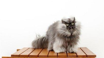 Συνταγματάρχης Nιάου, ο πιο μαλλιαρός γάτος στον κόσμο