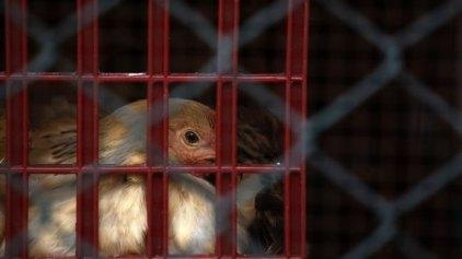 Νέο κρούσμα γρίπης των πτηνών στην Ολλανδία