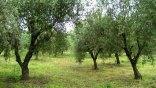 Τέλος οι μεζονέτες: Χωράφια με ελιές αγοράζουν οι 'Ελληνες για τα παιδιά τους