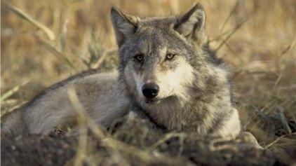 Μεταδοτικό το χασμουρητό και στους ... λύκους