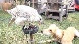 Γεράκι ταΐζει...σκύλο