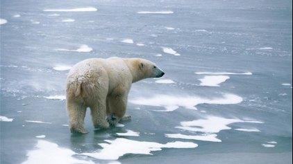 Οι πολικές αρκούδες αλλάζουν διατροφή για να επιβιώσουν