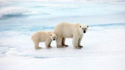 Google: Κινηματογραφεί τις πολικές αρκούδες