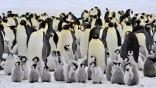 Εκπέμπουν «SOS» οι... αυτοκρατορικοί πιγκουίνοι!