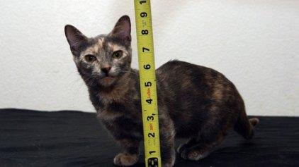 Τη λένε Πίξελ και είναι το πιο κοντό γατάκι στον κόσμο