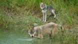 Το χασμουρητό είναι μεταδοτικό και στους λύκους