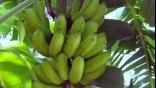 Μια γυναίκα καλλιεργεί μπανάνες στις ... Σίσσες !