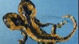 Εισαγόμενος μύκητας απειλεί τις σαλαμάνδρες της Ευρώπης
