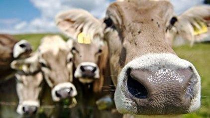 Αγελάδες με ανθρώπινα γονίδια δίνουν πολύτιμα αντισώματα