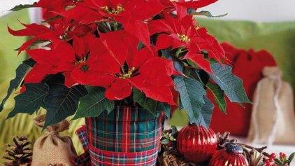 Τα φυτά των Χριστουγέννων και των εορτών στο Μουσείο Φυσικής Ιστορίας