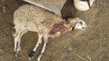 Ανατριχιαστικό θέαμα: Αδέσποτα κατασπάραξαν πρόβατα