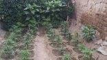 Χασισόδεντρα σε κήπους, κτήματα και μπαλκόνια