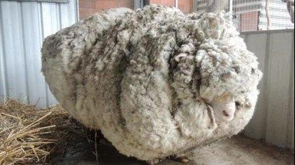Το πιο μαλλιαρό πρόβατο στον κόσμο