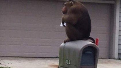 Tο «μυστήριο» της χαμένης αλληλογραφίας: Την έτρωγε μία μαϊμού!