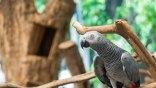 Μειώθηκε κατά 99% ο πληθυσμός γκρίζων παπαγάλων