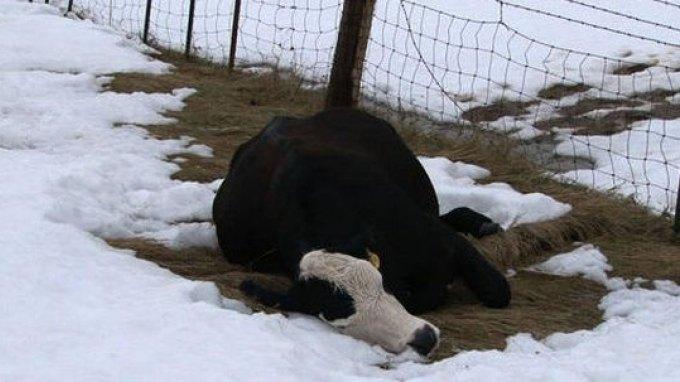 Θύματα σφοδρής χιονοθύελλας 15.000 αγελάδες
