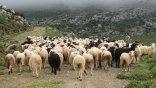 Απίστευτο και όμως συνέβη: Τα πρόβατα κυνηγούν το λύκο!