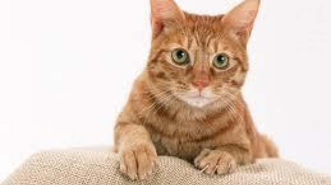 Αλλεργία στις γάτες: ανακάλυψαν τις αιτίες – Κοντά σε φάρμακο