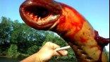 «Θαλάσσιο τέρας» στο Νιου Τζέρσεϊ ήταν τελικά παρασιτική λάμπραινα