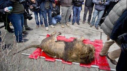 Κακοποιός είχε στο σπίτι του λιοντάρια και αρκούδες για ... εκφοβισμό !