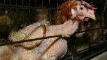 Κίνδυνος από την πώληση «στοιβαγμένων» πουλερικών