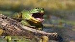 Βάτραχος γίγαντας που βρυχάται!